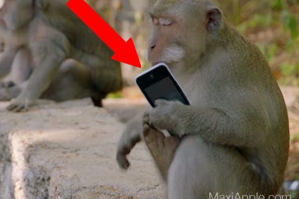 voleur singe macaque iphone indonesie maxiapple 02 600x400 - Un Singe Vole l'iPhone d'un Journaliste de la BBC (video)